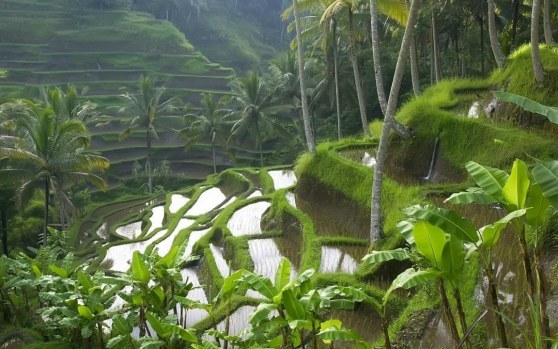 Bali Rice Paddy Terraces Good Wallpapers Wallpaper