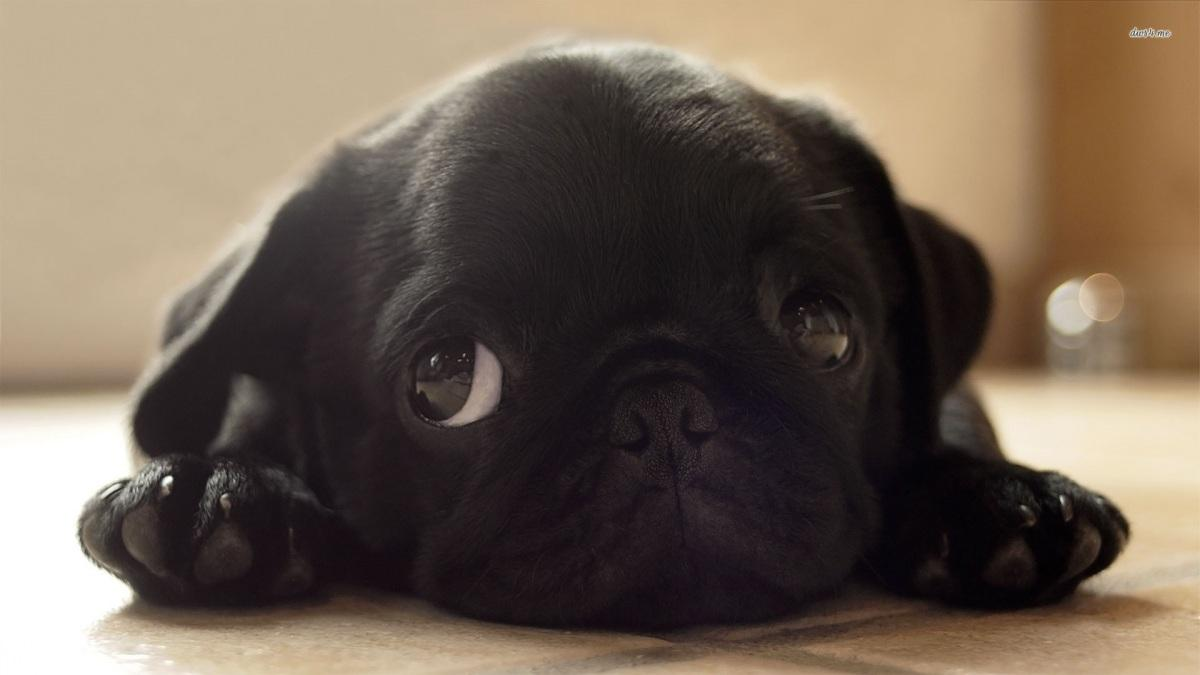 black-pug-puppy-animal-wallpaper-black-1